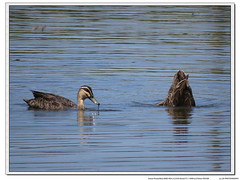 musk duck (jk1668) Tags: ocean portrait sky lake bird nature birds animal canon lens birding flight australia explore swamp tele birdwatcher sx50