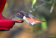 Wednesday Evening Hummingbird (newagecrap) Tags: california bird birds losangeles nikon hummingbird socal birdsinflight hummingbirds sanfernandovalley northhills losangelescounty rufoushummingbird selasphorusrufus trochilidae northhillscalifornia nikond5100