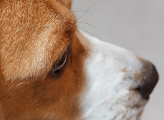 Focused Brody (Don Burkett) Tags: dog pet pets beagle hound canine companion brody dogportrait