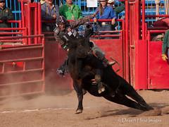 IMG_2090 (DesertHeatImages) Tags: road men cowboys women boots hats agra rope bulls rodeo runner regional steers 2014
