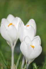 Pavilion_Gardens_0046 (Peter-Williams) Tags: uk flowers garden sussex countryside brighton crocus daffodil parkland carmelia paviliongardens