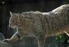 Europese wilde kat Duisburg IMG_0466 (j.a.kok) Tags: wildcat duisburg wildekat europesewildekat europeanwildcat