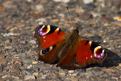 dagpauwoog Peacock (kPepels) Tags: peacock bo dagpauwoog kelmonder