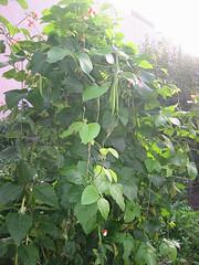 GardenRunnerBeans_4958429183_l