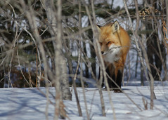 Red Fox...#18 (Guy Lichter Photography - Thank you for 2.8M views) Tags: canada animal animals canon foxy wildlife manitoba fox mammals prawda canon14xteleconverter foxred canonef400mmf56l 5d3 amazingwildlifephotography