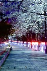 Sakura streets (Thomo13) Tags: road flowers light urban japan night canon garden cherry eos tokyo stream blossom path hills sakura 5d roppongi ark hanami izumi