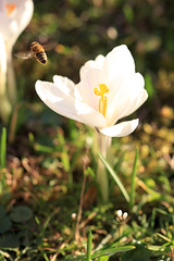 (wistine) Tags: flying crocus bee krokusse