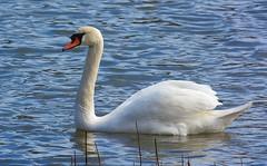 Knlsvan / Mute Swan (Stefan Berndtsson) Tags: gteborg good muteswan cygnusolor reddit knlsvan vlen