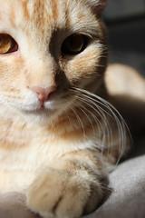 L'occhio del gatto (nicolaborzi) Tags: cat kat chat o gato katze mace cath  macska gatto  kot gat koka kedi kass  katt kato kissa kttur maka kucing pusa mo paka    cattus katu kat  miv feles pusi kais    pisic    ngeru nran  piik qattus