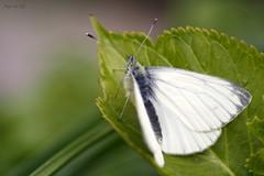 Schmetterling (Anja van Zijl) Tags: nature butterfly garden natur tuin garten schmetterling