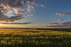 Vert Dor (photosenvrac) Tags: photo lumire champs culture ciel nuage paysage bl cereale thierryduchamp
