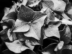 Life In Black (Carl_W) Tags: life blackandwhite white black flower gr grdigital ricoh grd grd3 grdigital3