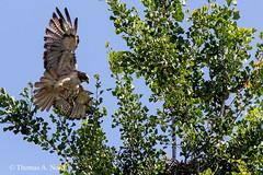 Red-tailed Hawk (Tom Nord) Tags: bird hawk arboretum raptor redtail buteo laarboretumredtailedhawk