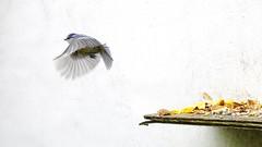 Pimpelmees (7) (bartseyshoutem) Tags: winter bird nature birds flickr vogels natuur pimpelmees vogel actie beweging tomtit aktie houtem pentaxfa31mmf18allimited pentax31mmlimited pentax31mm pentaxk5 bartseyshoutem bartseys
