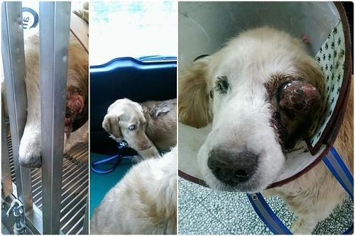 「助認養」桃園從新屋收容所救出眼睛爆出的黃金獵犬~需要醫療資源助認養可抵稅~謝謝您!20150205