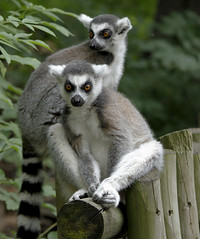 Ring Tailed Lemur. (pixiepic's) Tags: leaves animals post pair posing lemur westmidlandssafaripark