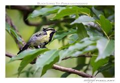 Black Lored Tit (AnilGoyal Pixelart) Tags: india tree bird tit himalayas floraandfauna avifauna nainitaal passerine uttarakhand blackloredtit parusxanthogenys titfamily anilgoyalpixelart