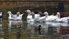 To ride on the lake (bbic) Tags: park november autumn white lake water ducks parc bucharest bbic parculcarol