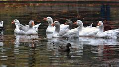 To ride on the lake (bbic) Tags: park november autumn white lake water ducks parc bucharest bbic parculcarol