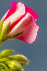 Pink Geranium_2266 (waldemar.langolf) Tags: detail horizontal rosa blume blatt seashore farbe frhling entwicklung baumblte storchschnabel wachstum niemand knospend zerbrechlichkeit natrlicheschnheit einzelneblume