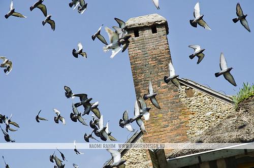 Queen's Hamlet Dovecote pigeons - Palace of Versailles