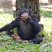 """Chimpansee • <a style=""""font-size:0.8em;"""" href=""""http://www.flickr.com/photos/128593753@N06/16349504840/"""" target=""""_blank"""">View on Flickr</a>"""