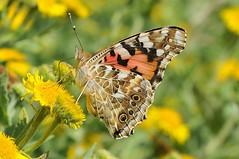 Painted Lady (Vanessa cardui) (Bob Eade) Tags: butterflies paintedlady
