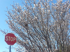 Stop And See Spring Coming (Sedona Clearing House) Tags: flowers sign spring blossoms plum sedona az stop