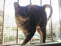 Tristana 42 (Asociacin Defensa Felina de Sevilla) Tags: espaa sevilla gatos felinos animales gatitos adoptar protectora adopciones apadrinar gatosurbanos defensafelina asociacindeanimales coloniasdegatos proteccindegatos activismoporlosanimales