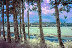 Vine-covered Cedars In Niigata Countryside (aeschylus18917) Tags: danielruyle aeschylus18917 danruyle druyle ダニエルルール ダニエル ルール japan infrared ir surreal 赤外線 landscape scenery nikon d200 日本 nature epiphyte ivy trees rice paddy niigata 新潟県 rural countryside cedar スギ 杉 poison vine creeper sapindale anacardiaceae anacardioideae ツタウルシ toxicodendronorientalis 2485mm pxxt pxt2