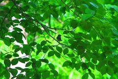 Titmouse Foraging (Reid2008) Tags: trees leaves titmouse