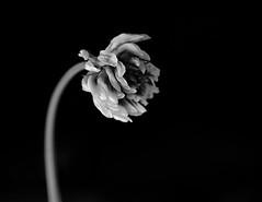 Fror (amargureiro) Tags: flowers blackandwhite bw white black blancoynegro nature closeup contrast lights nikon strobe monocrome d80 nikonmicro5535ai
