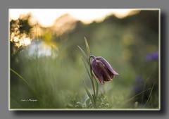 NO S SU NOMBRE (Fritillaria lusitanica) (Juan J. Marqus) Tags: flores primavera luz vida sombras
