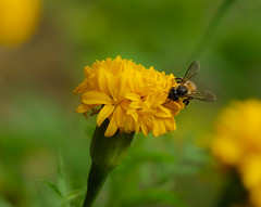 Busy bee on marigold (Robert-Ang) Tags: flower garden insect singapore bee chinesegarden honeybee communitygarden flyinginsect