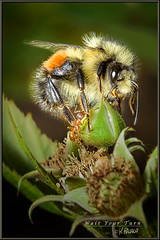 Wait Your Turn (Maclobster) Tags: macro up close blossom ant bee micro raspberry bud bumble keithgrajala