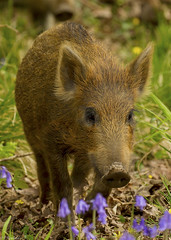 wild boar in the bluebells (roly2008.) Tags: canon mammal wildlife piglet boar forestofdean wildboar 1dmkiv 100400mkii