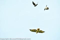 RedTailHawk battle 24_DSC5620.jpg (orig_lowolf) Tags: usa home oregon nikon flickr flight crow attacking redtailedhawk lakeoswego d300s sigma150500mmf563afapodgoshsmtelephotozoom