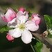 Caldwell Fields apple 3