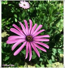 Margarita de mi jardn (akel_lke ) Tags: rakel raquel elke rakelelke raquelelke rakelmurcia regindemurcia murcianorte espinardo murcia espaa spain espagne europa europe flower fleur fiore blumen  kvtina cvjetni kvetina floro lill lore kukka blodau    paj bloem virg bunga blm  zieds iedas  kwiat floare  blomma iek  hoa mobil mvil celular iphone iphone6splus margarita daisy morada violeta