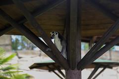 Lemure (Alessandra Arcari) Tags: summer parco verde nature animals estate natura amici amicizia compagnia animali lemure