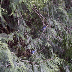 two scrub jays in the cedar tree (Manitoba Museum of Finds Art) Tags: scrubjay cedartree