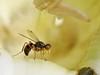 Sepsis (carlos mancilla) Tags: insectos flies moscas raynoxdcr250 sepsis olympussp570uz