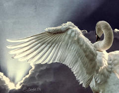 FlyingSwan (clabudak) Tags: sky white bird clouds flying swan wing feathers sunbeam untouchabledream
