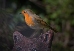 back garden Robin. (waynesidderley) Tags: birds elements