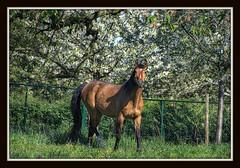 Captured (patrick.verstappen) Tags: flowers horse grass photo yahoo spring google flickr belgium image pat captured sigma hdr facebook picassa gingelom ipernity d7100 pinterest ipiccy