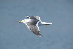 Seagull (James0806) Tags: seagulls norway seagull bergen seabirds