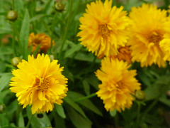 (Psinthos.Net) Tags: flowers light shadow nature leaves countryside spring blossoms may greenery noon pollen yellowflowers rainingday       psinthos