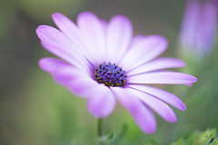 Pleasingly Purple (Connie Etter Photography) Tags: flower art canon flora 100mm round capedaisy 1dx flickrflowers flowersarebeautiful