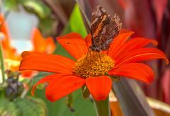 A Fluttering (12bluros) Tags: orange flower macro nature butterfly flora lepidoptera nybg newyorkbotanicalgarden tithonia mexicansunflower tithoniarotundifolia canonef100mmf28lmacroisusm