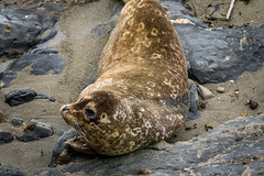 Harbor seal (randyherring) Tags: ocean california park ca sea beach nature animal closeup fur relax point mammal coast harbor us sand marine rocks afternoon unitedstates outdoor wildlife adorable seal shore coastline spotted resting seashore pointlobos harborseal carmelbythesea phocavitulina pointlobosstatenaturalreserve